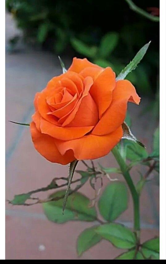 immagini-buongiorno-fiori_39