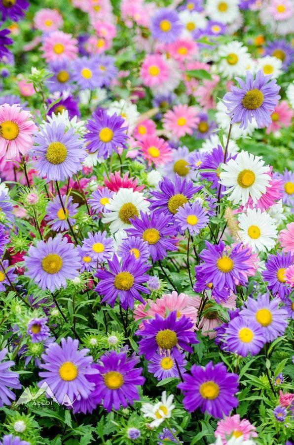 immagini-buongiorno-fiori_52