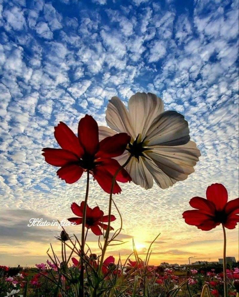 immagini-buongiorno-fiori_86
